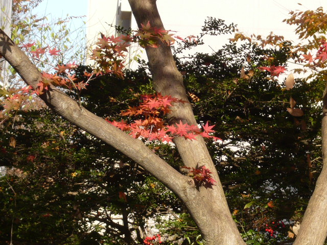 12月1日庭のもみじと八手 003.jpg